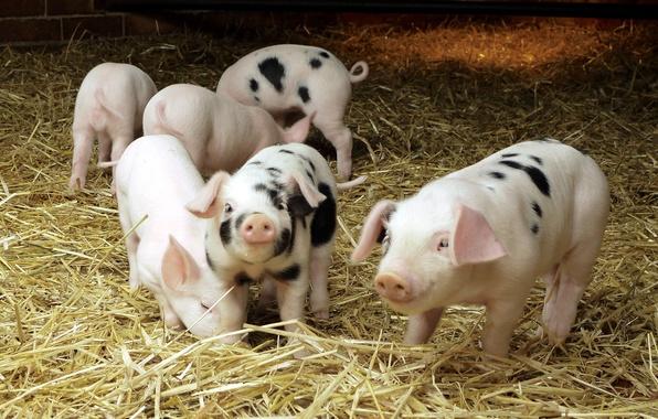 Картинка сено, свинья, хлев