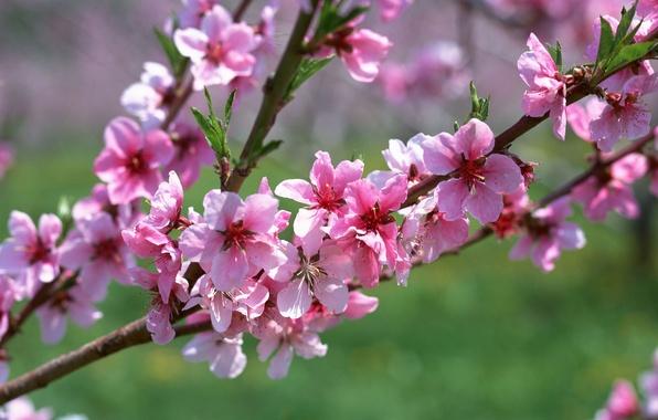 Картинка макро, цветы, розовый, ветка, весна, абрикос