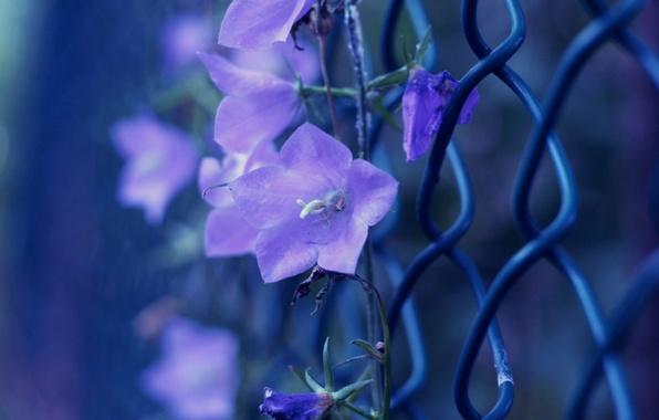 Картинка фиолетовый, макро, цветы, фото, сетка, цвет, ограждение, колокольчики