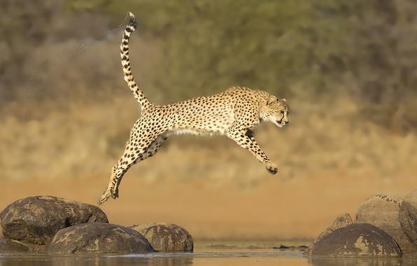 Картинка вода, камни, прыжок, гепард