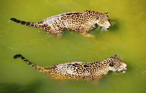 Картинка вода, хищник, купание, ягуар