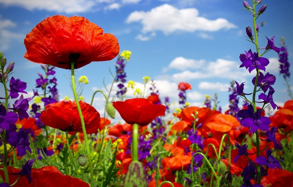 Картинка лето, цветы, маки, цветение, field, poppy, маковое поле, wild flowers