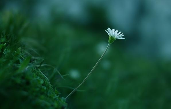 Картинка зелень, белый, цветок, трава, макро, растение, цвет, стебель