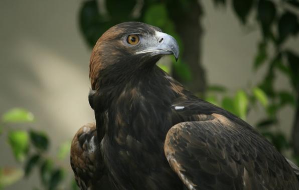 Картинка взгляд, орел, клюв