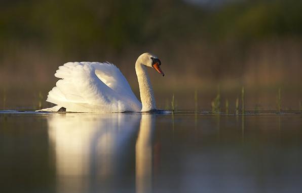 Картинка белый, трава, закат, озеро, пруд, гладь, отражение, птица, лебедь