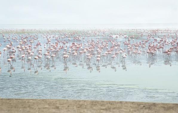 Картинка вода, птицы, розовые, фламинго, много