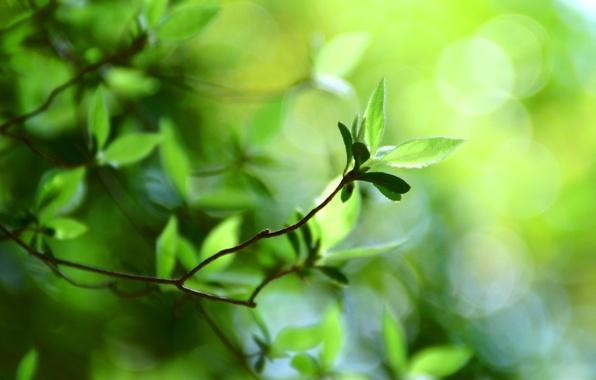 Картинка зелень, лето, свежесть, ветки, природа, ветви, листва, листок, размытие, ветка, весна, размытость, листочки, листочек, листки, …