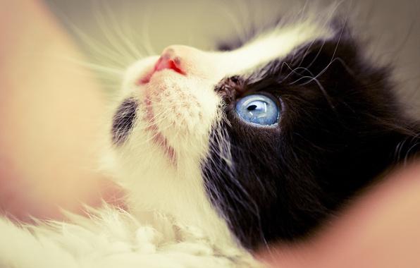 Картинка кошка, макро, черно-белый, мордочка, котёнок, голубые глаза, лапочка