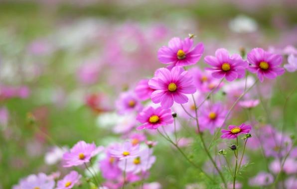 Картинка поле, макро, цветы, лепестки, размытость, розовые, белые, Космея