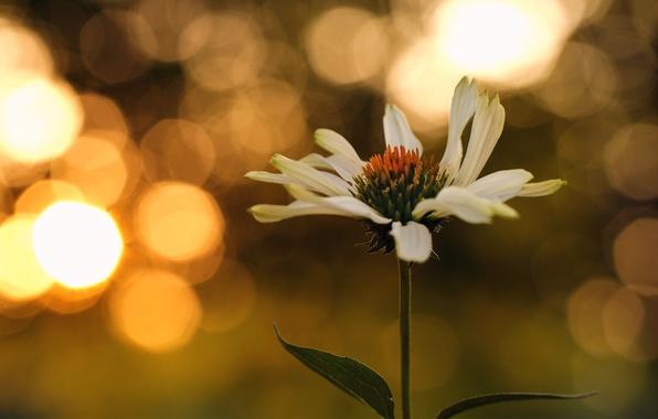 Картинка цветок, листья, закат, ромашка, боке