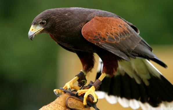 Картинка природа, птица, орел, ветка, клюв