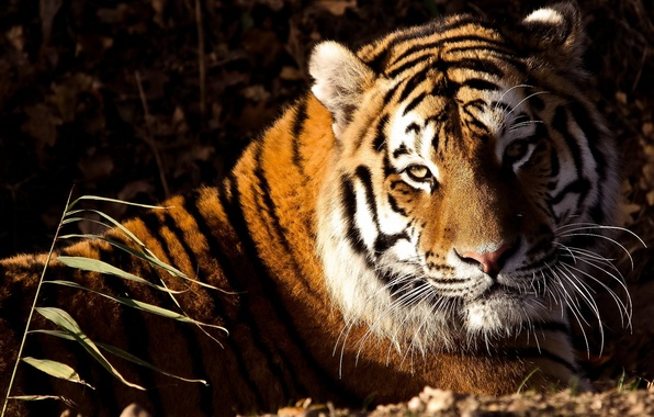 Картинка взгляд, морда, тигр, лежит, tiger, panthera tigris