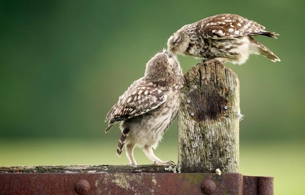 Картинка животные, птицы, забор, совы