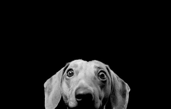 Картинка взгляд, морда, интерес, удивление, собака, черно белое