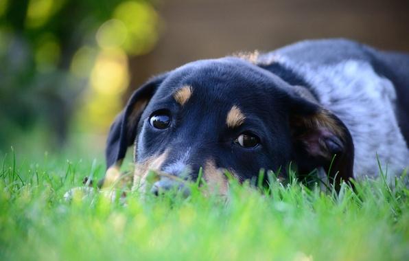 Картинка трава, глаза, взгляд, морда, макро, животное, собака, лежит, уши, зеленая