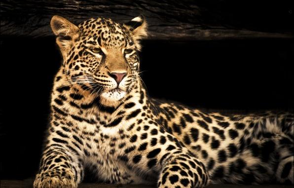 Картинка взгляд, морда, фотошоп, хищник, размытость, леопард