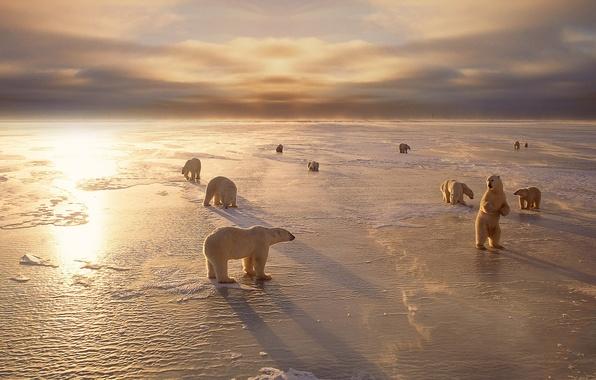 Картинка холод, зима, животные, снег, медведи, белые, север