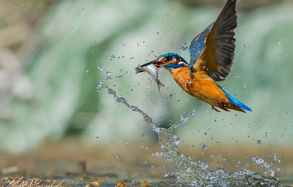 Картинка вода, капли, птица, рыба, охота, bird, drop, water, зимородок, fish, hunt, Emi