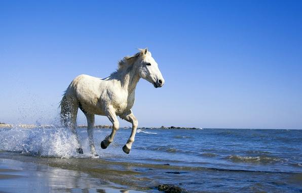 Картинка море, вода, конь, берег, Лошадь