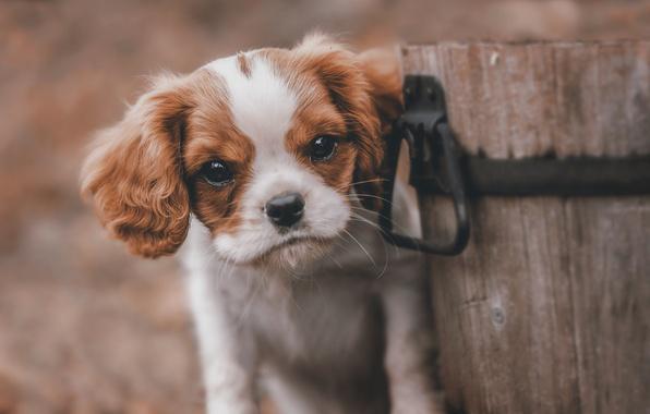 Картинка взгляд, друг, собака, ведро, щенок, деревянное