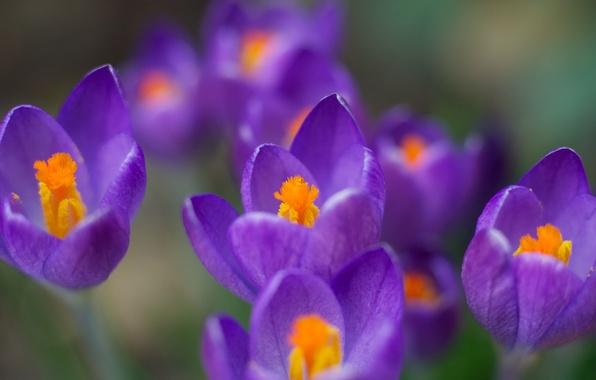 Картинка макро, цветы, цвет, весна, фиолетовые, крокусы