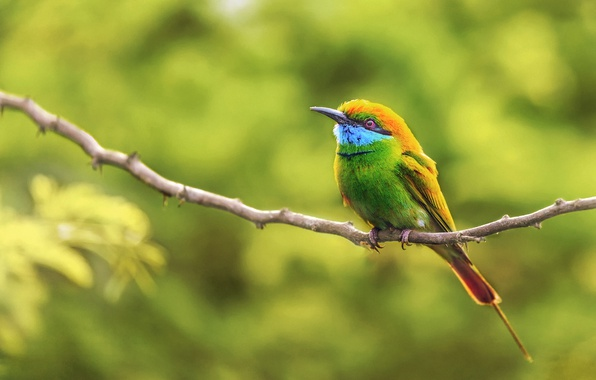 Картинка фон, птица, ветка, боке, зеленая щурка