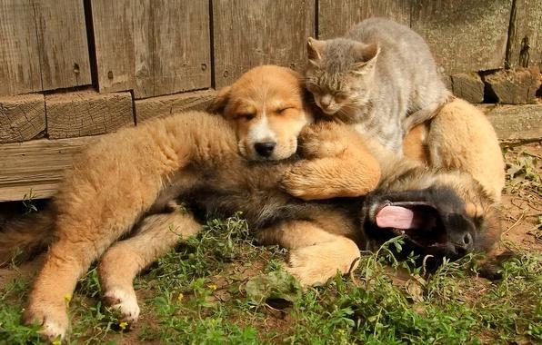 Картинка кошка, собаки, кот, дружба, щенок, друзья, троица