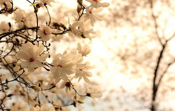 Картинка белый, цветы, ветки, природа, фон, ветви, весна, цветение, Магнолия