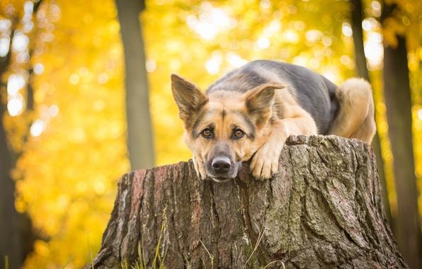 Картинка взгляд, пень, собака, овчарка, Немецкая овчарка