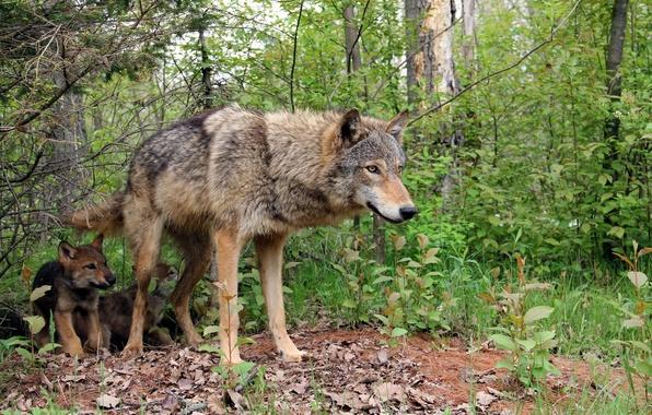 Обои картинки фото волки природа лес