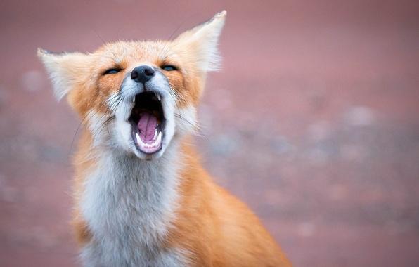 Картинка морда, пасть, лиса, рыжая, лисица