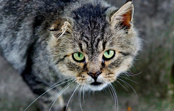 Картинка eyes, cat, fur, feline