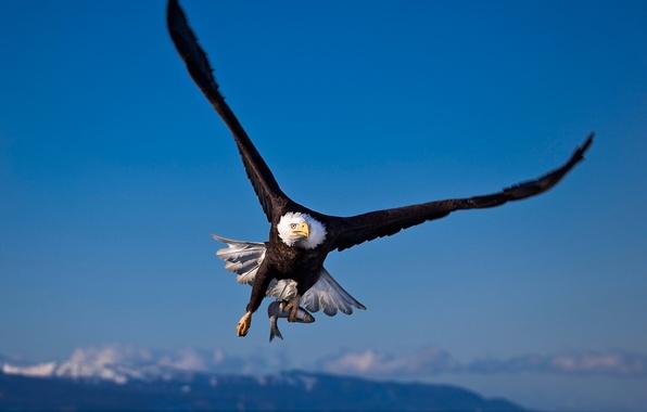 Обои картинки фото птица, орел, белоголовый орлан, охота