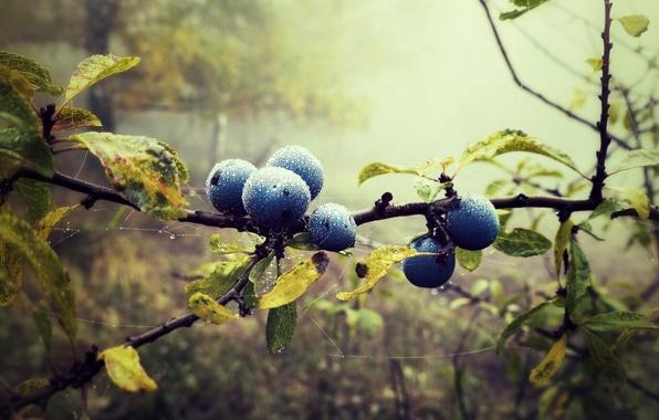 Картинка лес, листья, капли, природа, туман, ягоды, паутина, ветка, черника, голубика