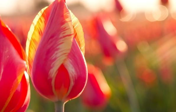 Картинка макро, природа, лепестки, стебель, тюльпаны