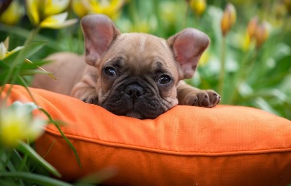 Картинка трава, щенок, подушка, французский бульдог