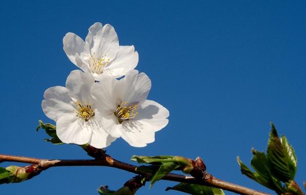 Картинка небо, дерево, голубое, ветка, весна, цветки, фруктовое