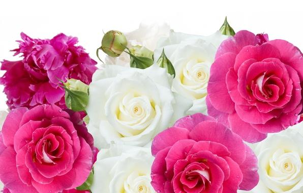 Картинка цветы, розы, бутоны, пионы