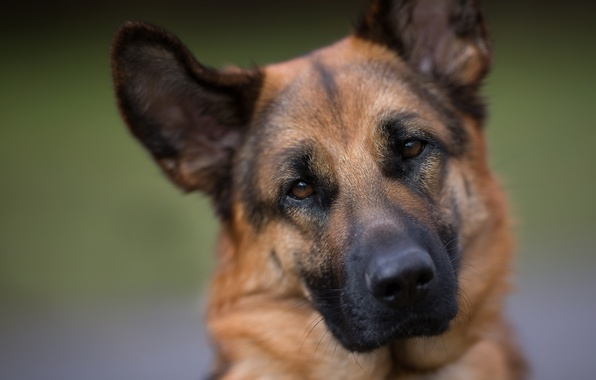 Картинка взгляд, морда, портрет, собака, немецкая овчарка, овчарка