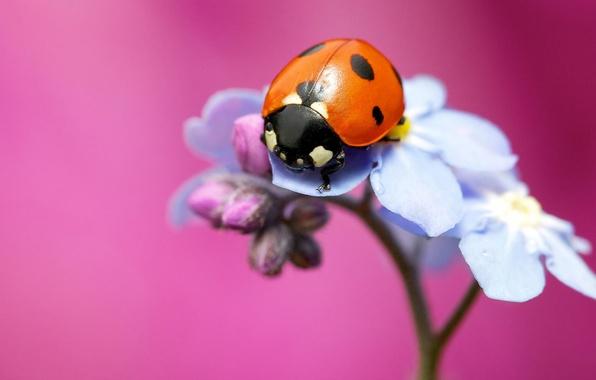 Картинка цветок, макро, фон, розовый, божья коровка, насекомое