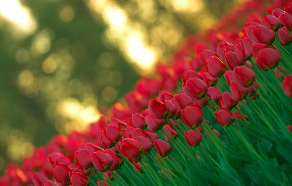 Картинка свет, цветы, красный, природа, весна, размытость, Тюльпаны, бутоны
