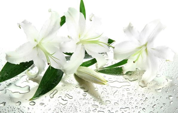Белые лилии на рабочий стол обои