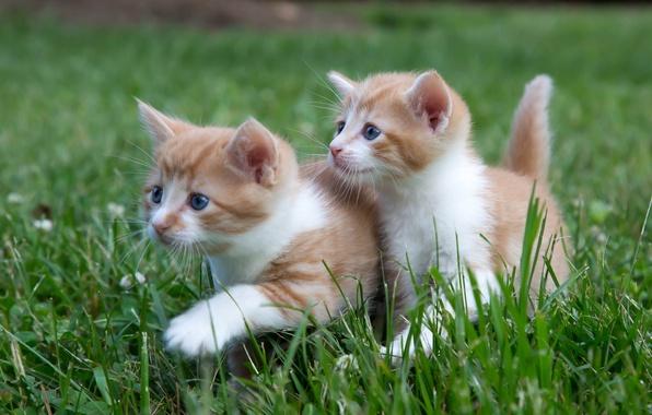 Картинка трава, котята, прогулка, малыши, парочка, двойняшки