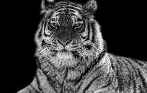 черно-белая картинка тигр