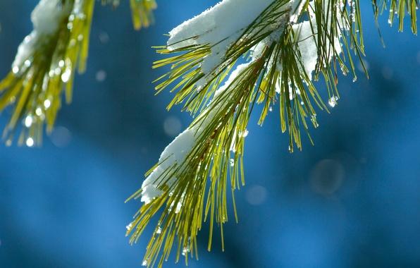 Картинка макро, снег, иголки, ветка, хвоя