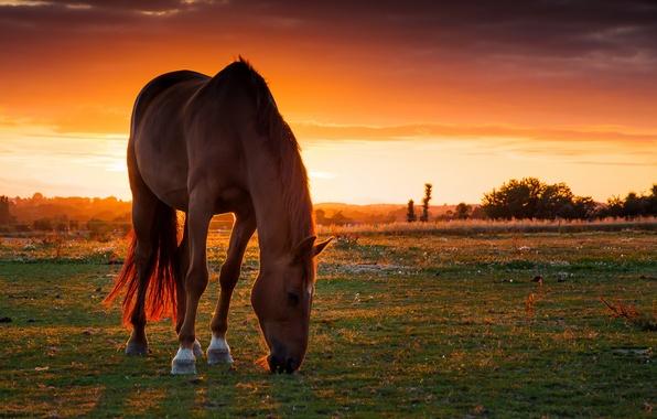 Картинка поле, закат, конь, лошадь, пастбище