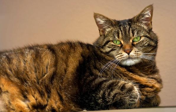 Картинка кошка, глаза, кот, усы, взгляд, морда, зеленые, полосатый