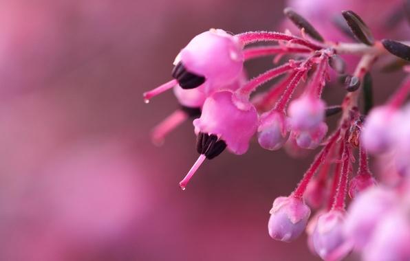 Картинка макро, цветы, фон, куст, ветка, размытость, розовые, бутоны, цветки, боке, вереск