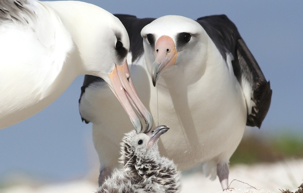 Картинка птицы, птенец, родители, альбатросы