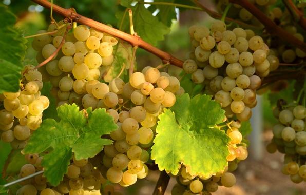 Картинка белый, листья, виноград, гроздья, лоза